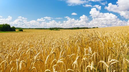 Photo for Close up of wheat ears, field of wheat in a summer day. Harvesting period - Royalty Free Image