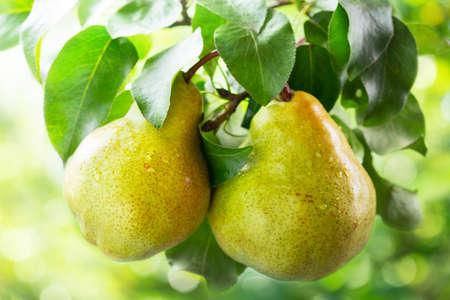 Foto für fresh ripe pears on a tree in a garden on green background - Lizenzfreies Bild