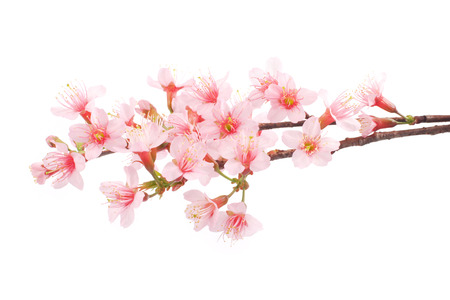 Photo pour Pink Sakura flowers isolated. - image libre de droit