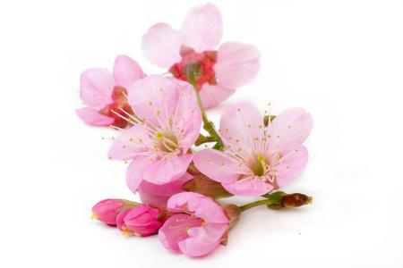 Photo for sakura flowers isolated white backgrond - Royalty Free Image