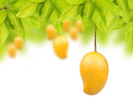 Mango on tree with leaf isolated white background