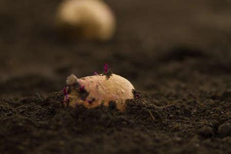 Photo pour Growing sweet potato at home vegetable garden - image libre de droit