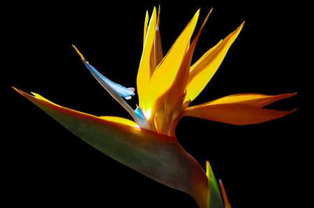 Photo pour strelezia, Bird of Paradise flower - image libre de droit