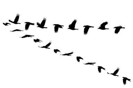 Photo pour Rook, Corvus frugilegus - image libre de droit