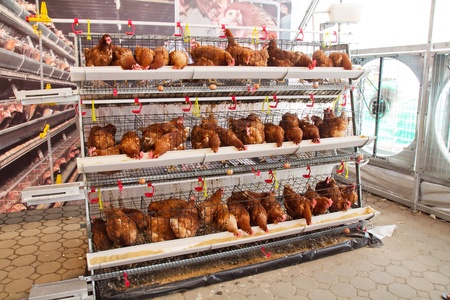 Poultry farm (aviary) full of brown chickens