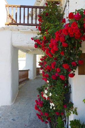 rambler rose in capileira town, sierra nevada, spain