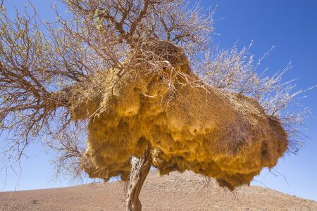 Tree in Tirasberge, Namibia with the nests of the sociable weaver, a bird that build large compound community nests, a rarity among birds. These nests are perhaps the most spectacular structure built by any bird.