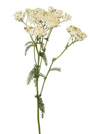 Foto für Achillea millefolium flower isolated on white background - Lizenzfreies Bild