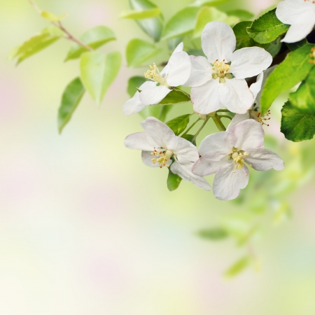 Beautiful  spring blossoming apple tree