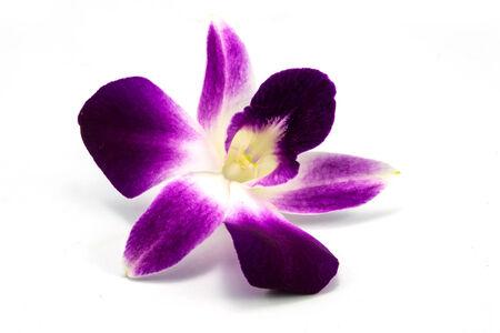 Dendrobium orchid, Dendrobium sp., Family Orchidaceae, Central of Thailand