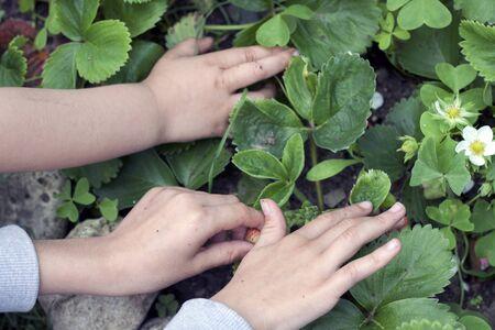 Photo pour two little girls picking strawberries in a tiny kitchen garden - image libre de droit