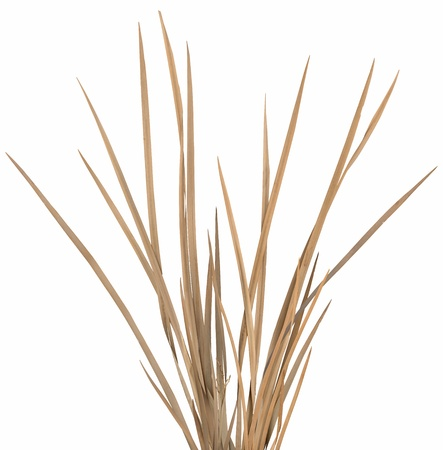 Dried ornamental grass clump isolated over white. Very high-res. Clean edges, no shadows.