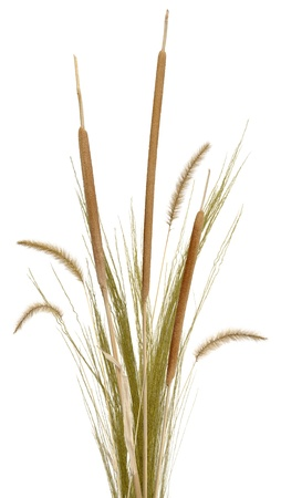 A bouquet of ornamental grass, cattails and fountain grass, isolated on white. Very high res.