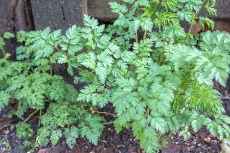 A bunch of herbs groing wildly in the woods agains a rotting fence.