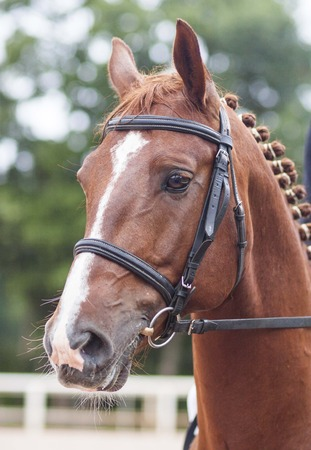portrait of a bridled red horse