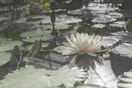White lotus blossom