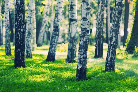 White birches forest at summ