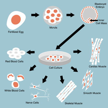 Illustration of stem cell culture and cell differentiation