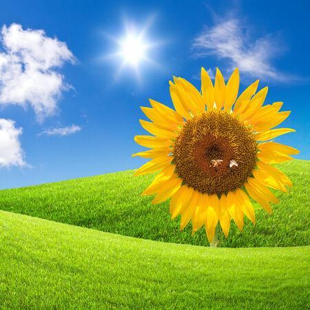 Sunflower  on green grass and blue sky