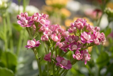 Photo for Close-up of beautiful kalanchoe pink flowers.The small flowers are brightly colored on blurred background. - Royalty Free Image