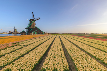 Photo for Amsterdam Netherlands, Dutch Windmill and traditional house at Zaanse Schans Village with tulip field - Royalty Free Image