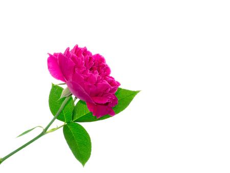 Close up Dark pink of Damask Rose flower with leaf (Rosa damascena) on white background
