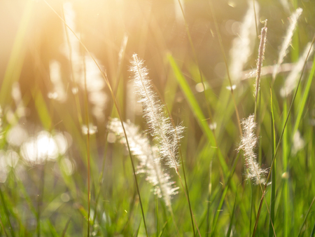 Foto de Soft focus of Blady grass with sunlight and floating light. (Imperata cylindrica plant) - Imagen libre de derechos