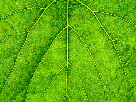 Photo for Macro of green grape leaf background. - Royalty Free Image