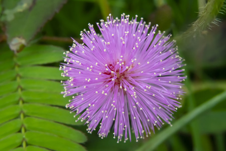 Photo pour Close up flower of sensitive plant, sleepy plant or the touch-me-not tree (Mimosa pudica) in green leaf. - image libre de droit