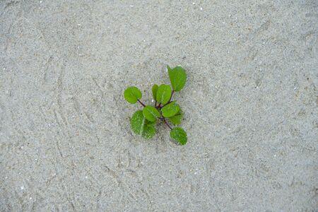 Ipomoea pes-caprae Sweet or Beach Morning Glory plant on the beach. (Scientific Name : Ipomoea Pes-caprae)