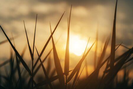 Foto de Close up silhouette of grass leaves with sunlight in vintage color. - Imagen libre de derechos