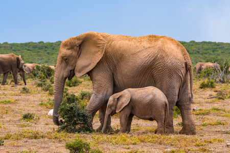 Photo pour African elephant group in the national park - image libre de droit