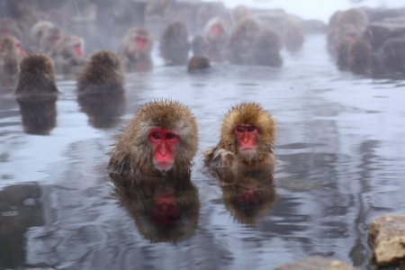 Snow monkey in hot spring, Jigokudani, Nagano, Japan