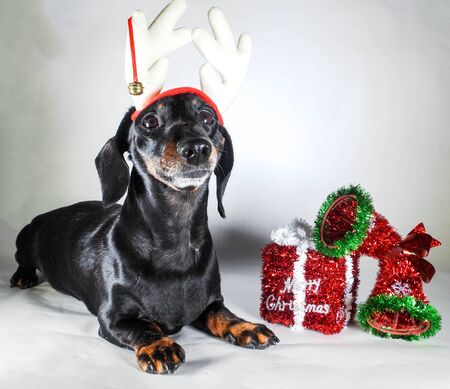 Photo for A Miniature Smooth Haired Dachshund in the Christmas Spirit. Beside a Merry Christmas gift. - Royalty Free Image