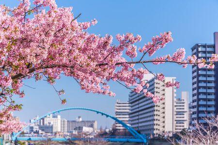 Spring in Japan, Tokyo, Edogawa-ku, Kawazu cherry blossoms along the former Nakagawa Riverの素材 [FY310136548556]