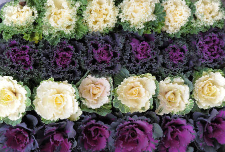 Ornamental cabbage for decoration in japan