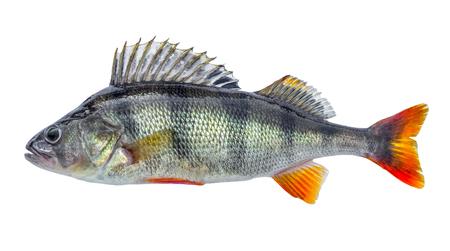 Foto de Fish perch with scales, fresh raw isolated - Imagen libre de derechos