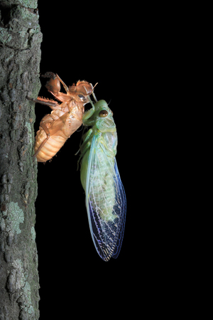 A cicada freshly emerged from its