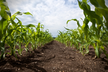 young corn growing on a field