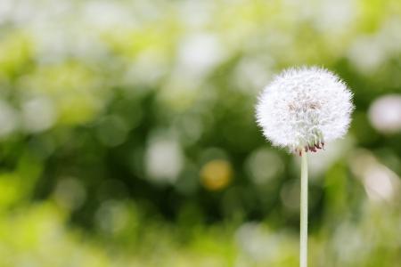 Photo pour Dandelion on a green meadow background. Close-up photo with bokeh and natural colors - image libre de droit