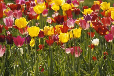 Tulip field in Lower Saxony, Germany, Europe