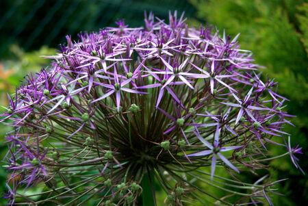 purple bulbous allium flower head