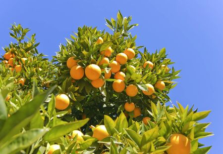 Ripe oranges hanging on a tree on a sunny day