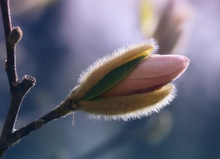 Magnolia flower bud, pastel tones