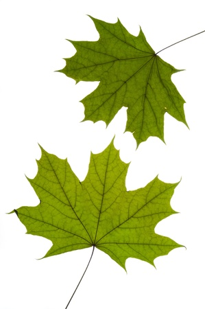 dry green maple tree leaf on white