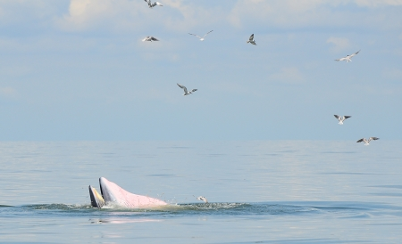 Bryde s Whale eating small fish in Thai Ocean