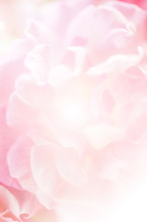 pink roses, sweet soft color background