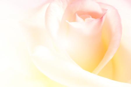 vivid color rose, soft background