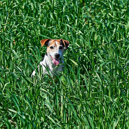 Photo for Cute puppy sits in tall green grass. Playful red and white dog jack russell play on farm meadow with copy space - Royalty Free Image