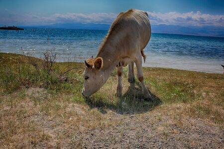 Cow grazes in a meadow by the lake.